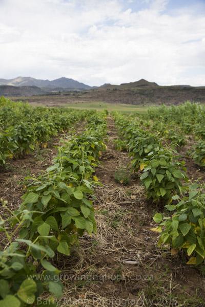 Ntate Ntjoetso Lehloenya's Bean field