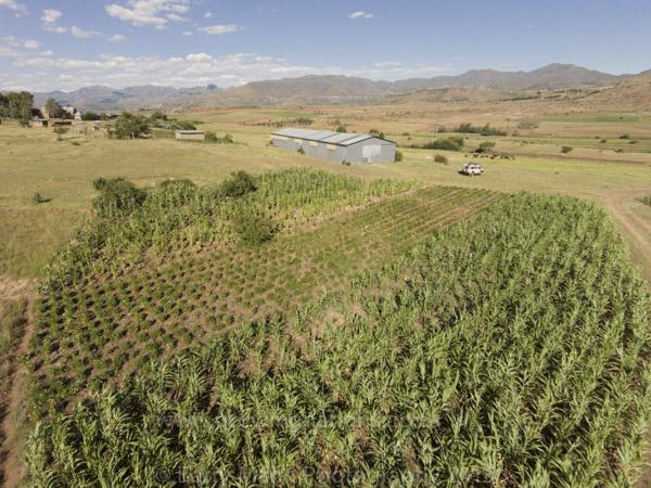 Ntate Ntjoetso Lehloenya, CA fields in Maphutseng.
